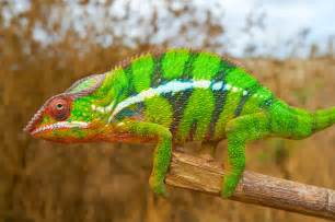 animal that changes color how chameleons change color it s nanocrystals in the skin