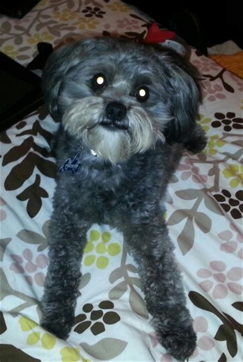 pomapoo haircuts pomapoo hairstyles the world s best photos of dog and