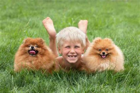 pomeranian and children pomeranian breed profile and information vetwest animal hospitals