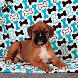 boxer puppies for sale in utah boxer puppies for sale boxer breed info greenfield puppies