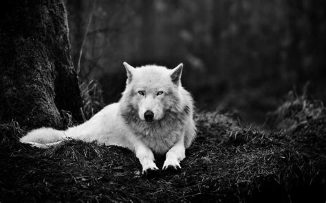 White Wolf Wallpapers Wallpaper Cave | white wolf wallpapers wallpaper cave