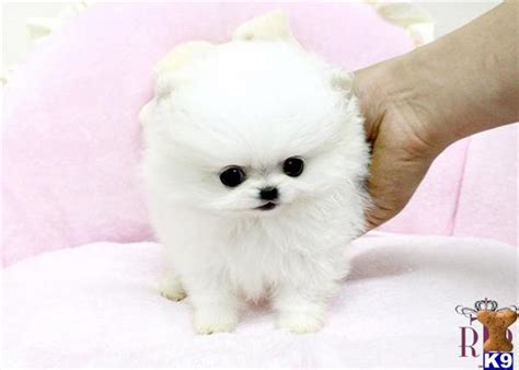 white pomeranian for sale white teacup pomeranian puppies for sale uk