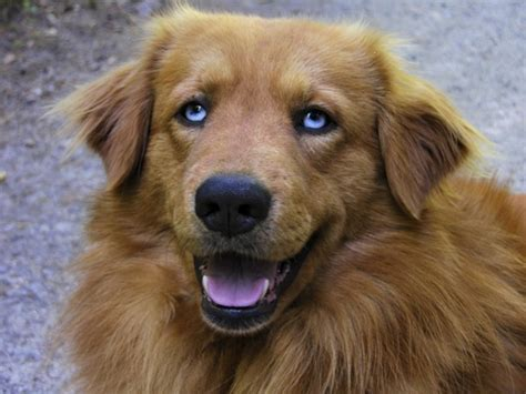 golden retriever with blue blue eyed golden retriever www imgkid the image kid has it