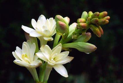 imagenes de flores nardos non 232 un grappolo d uva 232 un fiore di nardo pubblicato lo