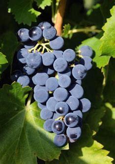 imagenes uva garnacha garnacha tinta dulce aroma noticias de vinos