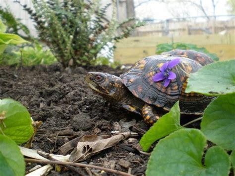 Garden Turtle by Organic Gardening Is Key When Keeping Turtles