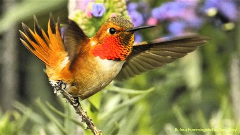 rufous hummingbird sounds youtube
