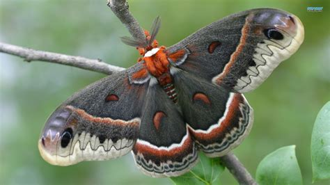 Big Butterfly big beautiful butterfly wallpapers and images wallpapers pictures photos