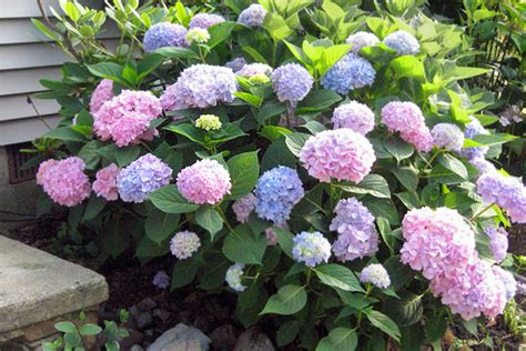 best plants for curb appeal top curb appeal plants for along your foundation