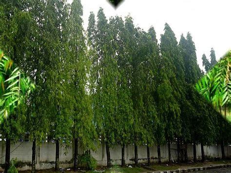 Jual Bibit Arwana Pontianak jual pohon glodokan di pontianak kalimantan barat