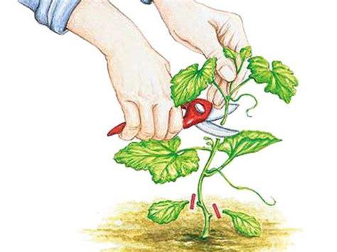 Pflanzen Und Gartenbedarf 790 by Die Besten 25 Melonenpflanze Ideen Auf Wo