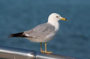Pictures Of A File Seagull 6037 Jpg