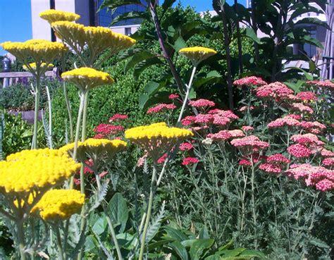 Garden Yarrow Nlm Herb Garden Gallery