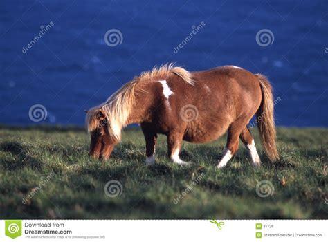 shetland pony stock photos images royalty free shetland shetland pony royalty free stock image image 81726