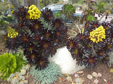 aeonium purpureum purple tree aeonium blooming grows on you