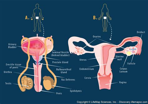diagram of reproductive system how to talk safely about in the classroom