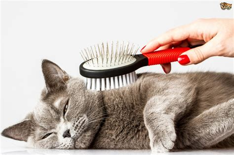 how to keep a from shedding how to keep on top of a cat s shedding pets4homes