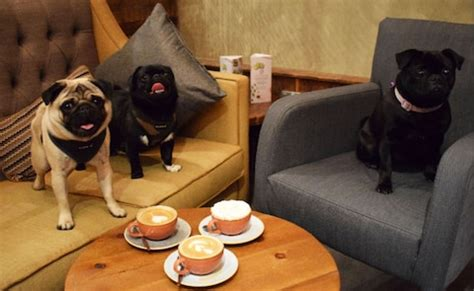 pop up pug pugs and flat whites a new pop up caf 233 is turning unfashionable guildford