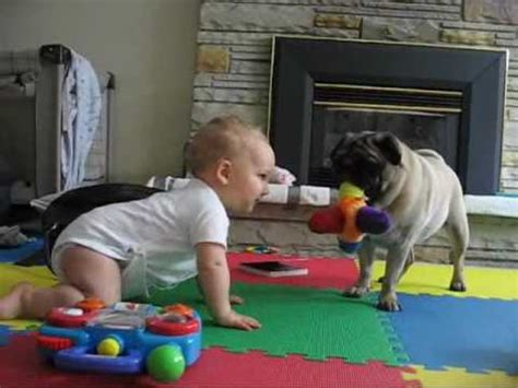 pug vs baby pug vs baby the neverending battle the waggington post