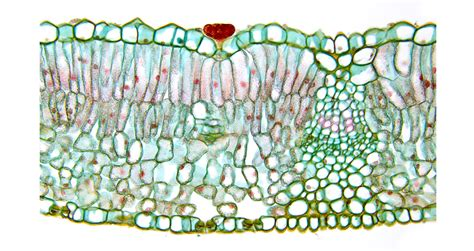 diagram of cross section of a leaf department of botany