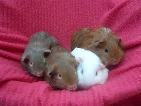 Baby Guinea Pigs Images baby guinea pigs pictures to pin on pinsdaddy