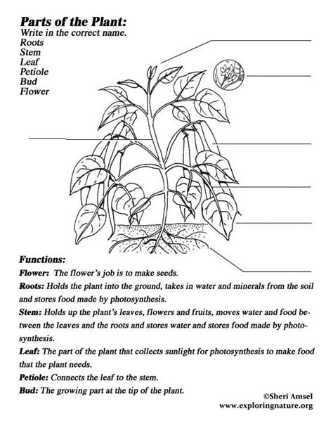 plant parts labeled coloring