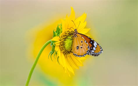 insect tiger butterfly  yellow color  sunflower  ultra hd tv wallpaper  desktop