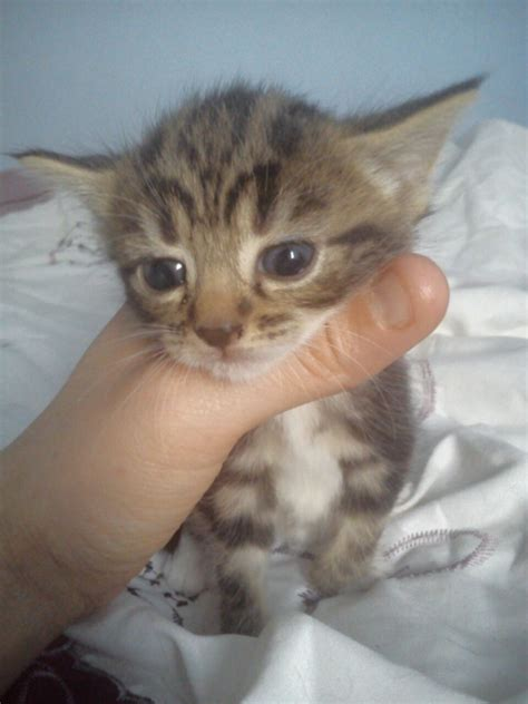 one tabby kitten 6 weeks old for sale   Redcar, North