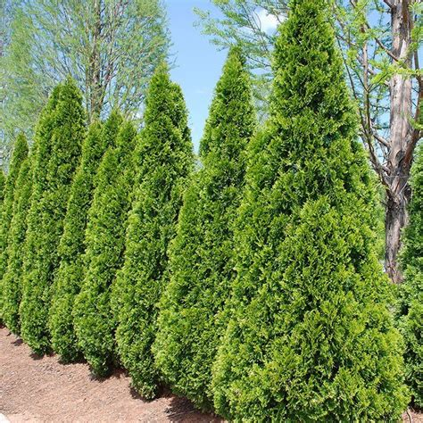 28 best landscaping with arborvitae images on