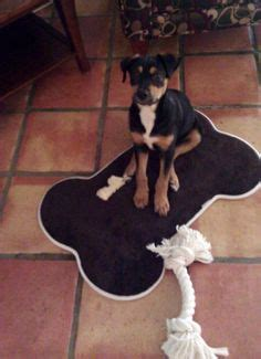 1000 images about rottweiler on pinterest walking nutritional 1000 images about heidi blu shepherd and rottweiler mix
