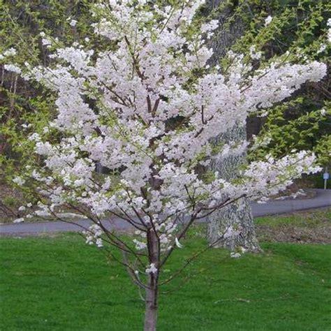 cherry tree yoshino yoshino cherry prunus x yedoensis the home depot community