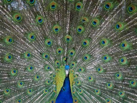 imagenes reales wikipedia im 225 genes del mundo animal pavo real