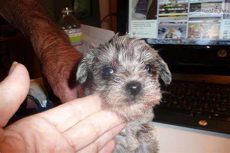 miniature schnauzer puppies for sale in va schnauzer miniature puppy for sale near charleston west virginia 2a87414a 1e31