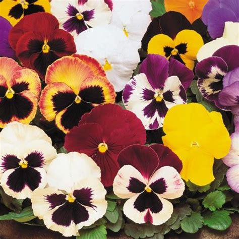 pansy colors pansy matrix collection winter pansies plant me now