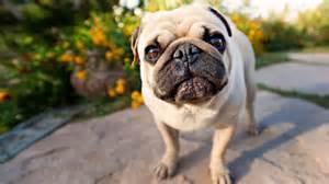 Pug puppies wallpaper hd 31 widescreen wallpaper wallpaper