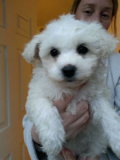 bichon puppies for sale bichon frise puppies 450 posted 10 months ago for sale dogs bichon breeds picture