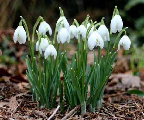 bucaneve fiore galanthus galanthus nivalis snowdrops
