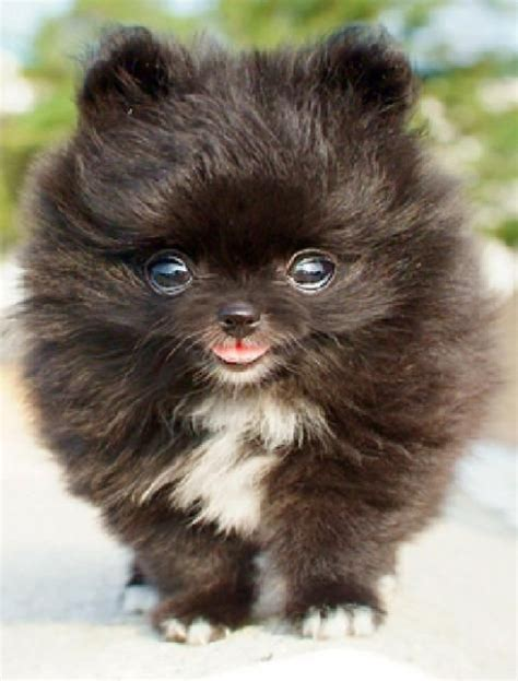 pictures of mini pomeranians 25 best ideas about mini puppies on
