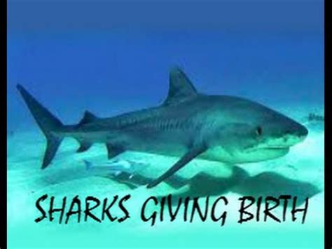 baby shark natal dead sharks giving birth to babies must watch this