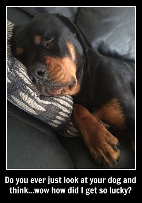 rottweiler jokes best 25 rottweiler ideas on fuuny memes husband and arguing
