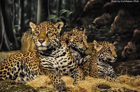 facts about jaguar jaguar animal interesting facts idea de imagen coche