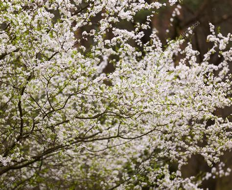 albero fiori bianchi fiori bianchi dell albero di prugna foto stock 169 milosz