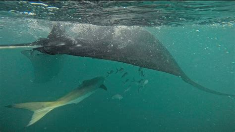 cobia boat pictures cobia and the rays florida sportsman