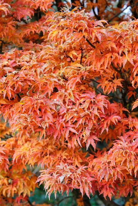 best trees for backyard 47 best trees for backyard images on pinterest plant catalogs gogo papa