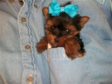 micro yorkie puppies for sale uk tiny teacup terrier puppies for sale blackpool 29935246