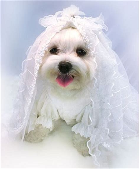 Wedding Accessories For Dogs by Strikingly Beautiful Wedding Clothes Order To Your
