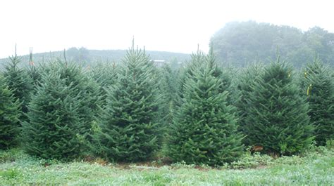 pictures of north carolina fraser fir christmas trees