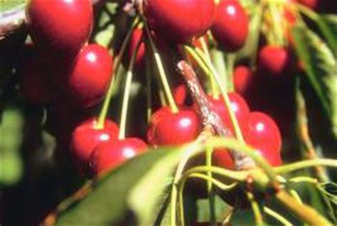 cherry tree yield how to plant a semi cherry tree home guides sf gate