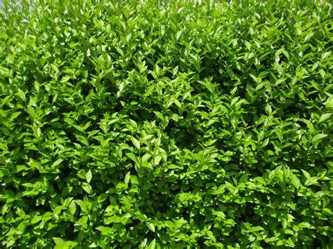 Sichtschutz Garten Pflanzen Ungiftig by Welche Heckenpflanze Ist F 252 R Ihren Garten Die Richtige