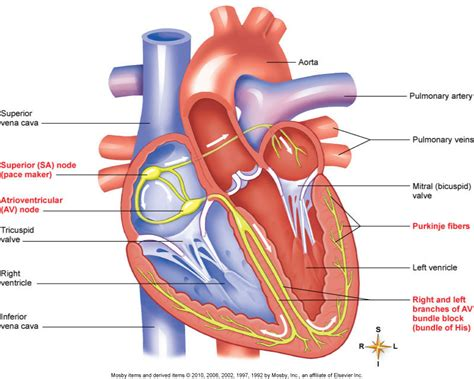 cardiac diagram cardiac model ma